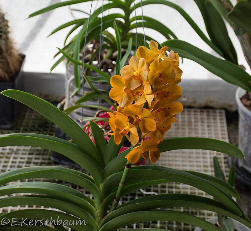 Orchideen-Neuzugang 2 - Seite 21 Dsc_4517