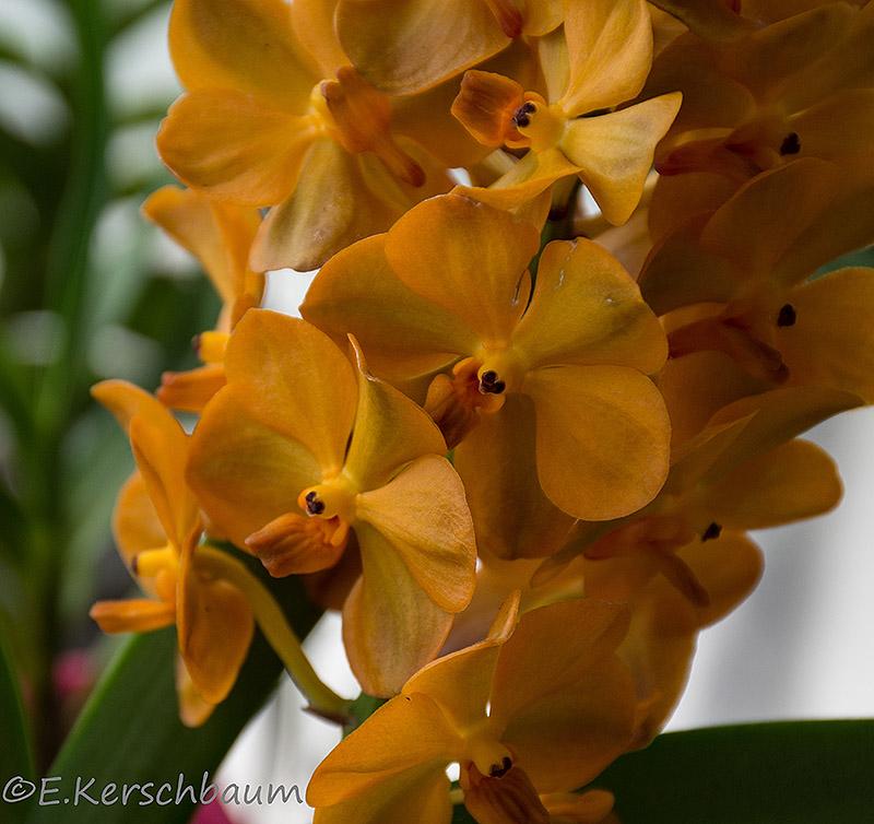 Orchideen-Neuzugang 2 - Seite 21 Dsc_4518