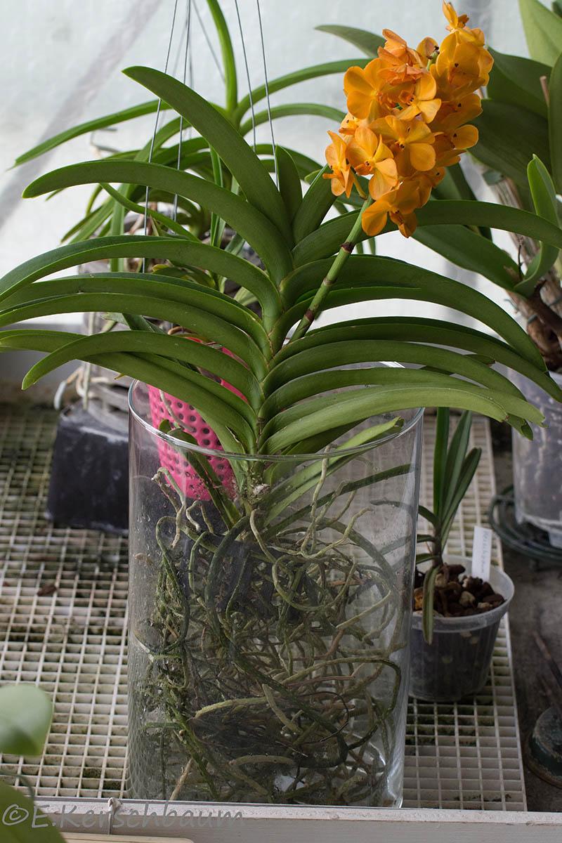Orchideen-Neuzugang 2 - Seite 21 Dsc_4737