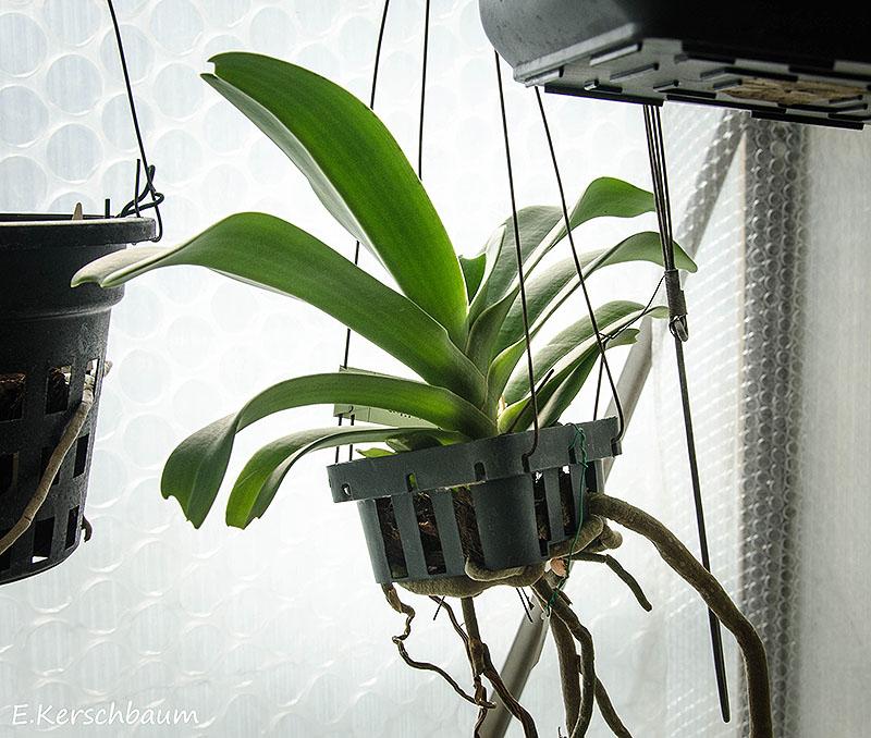 Orchideen-Neuzugang 2 - Seite 16 Dsc_4914