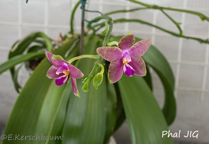 Phalaenopsis venosa x bellina (JIG) Dsc_5710