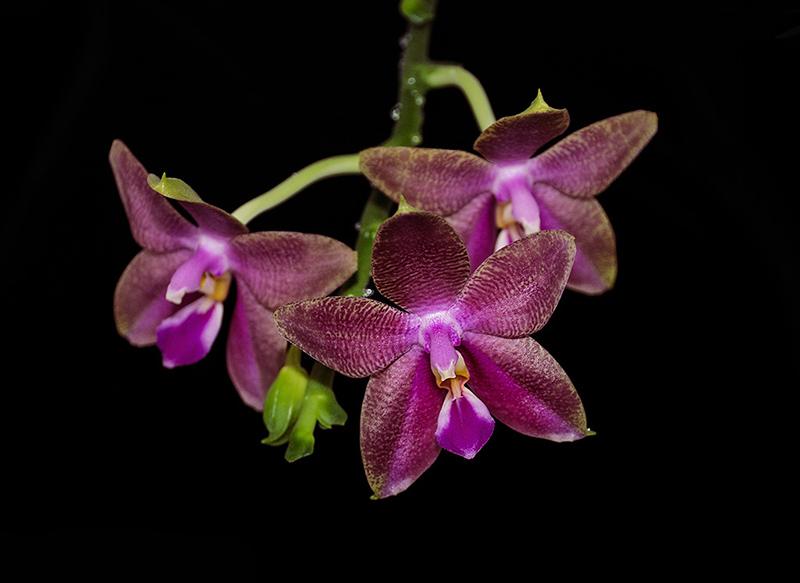 Phalaenopsis venosa x bellina (JIG) - Seite 2 Dsc_6010