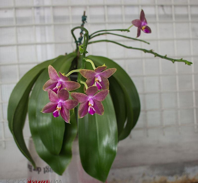 Phalaenopsis venosa x bellina (JIG) - Seite 2 Dsc_6911