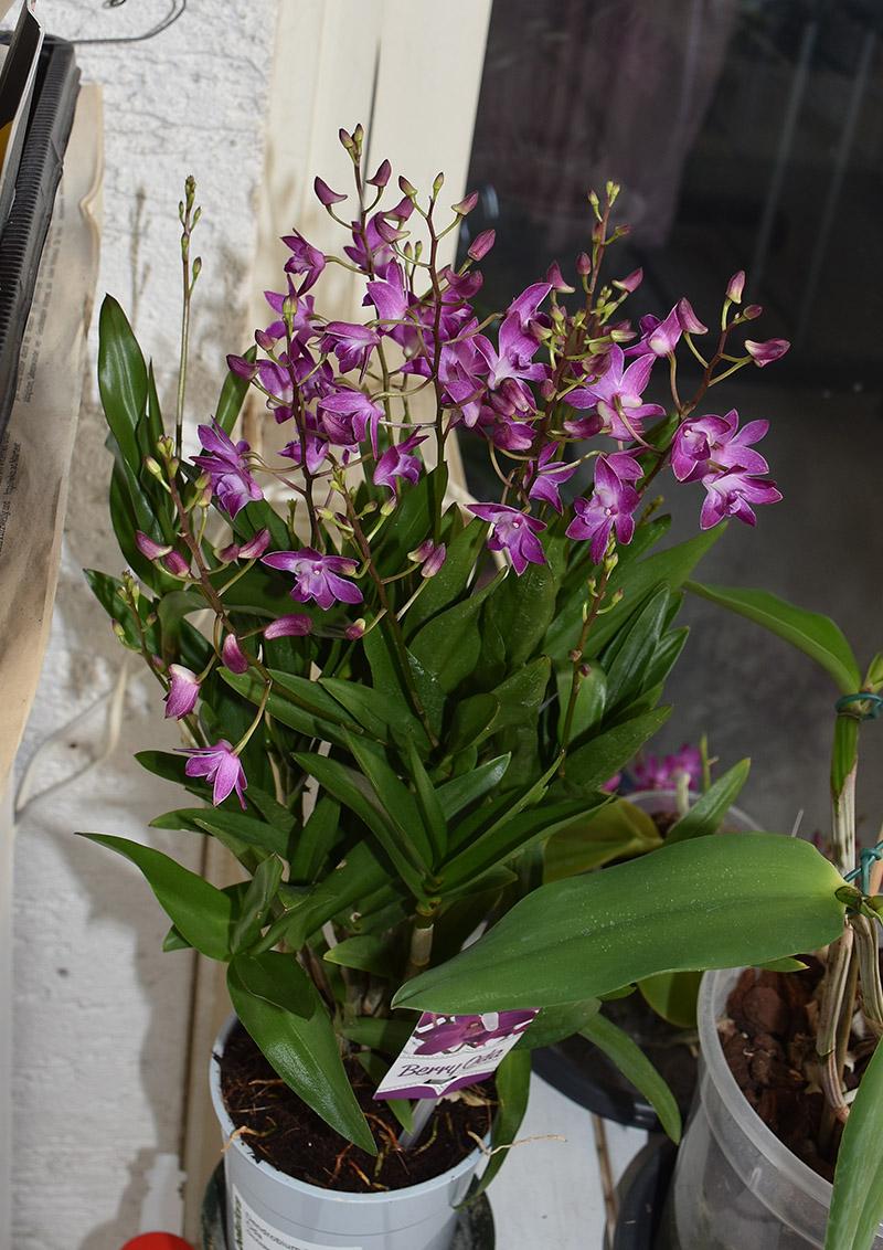 Orchideen-Neuzugang 2 - Seite 25 Dsc_9611