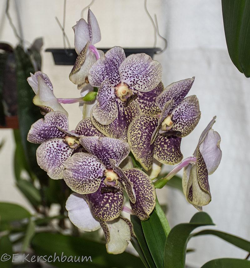 Orchideen-Neuzugang 2 - Seite 25 Dsc_9710