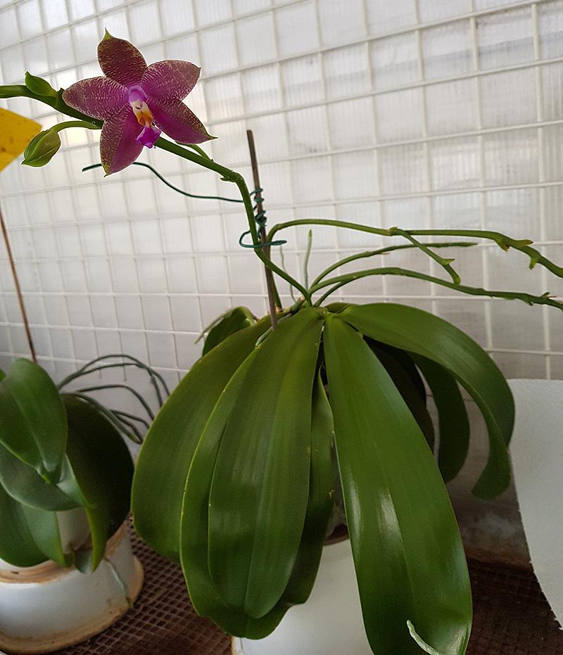 Phalaenopsis venosa x bellina (JIG) Jig-2010
