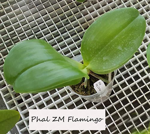 Orchideen-Neuzugang 2 - Seite 4 Phal-n13