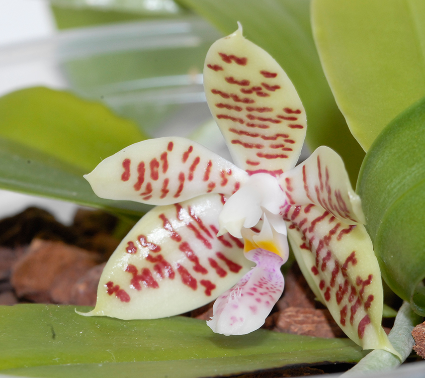 Phalaenopsis inscriptiosinensis x hieroglyphica (Toenne Tausend) Bluete10