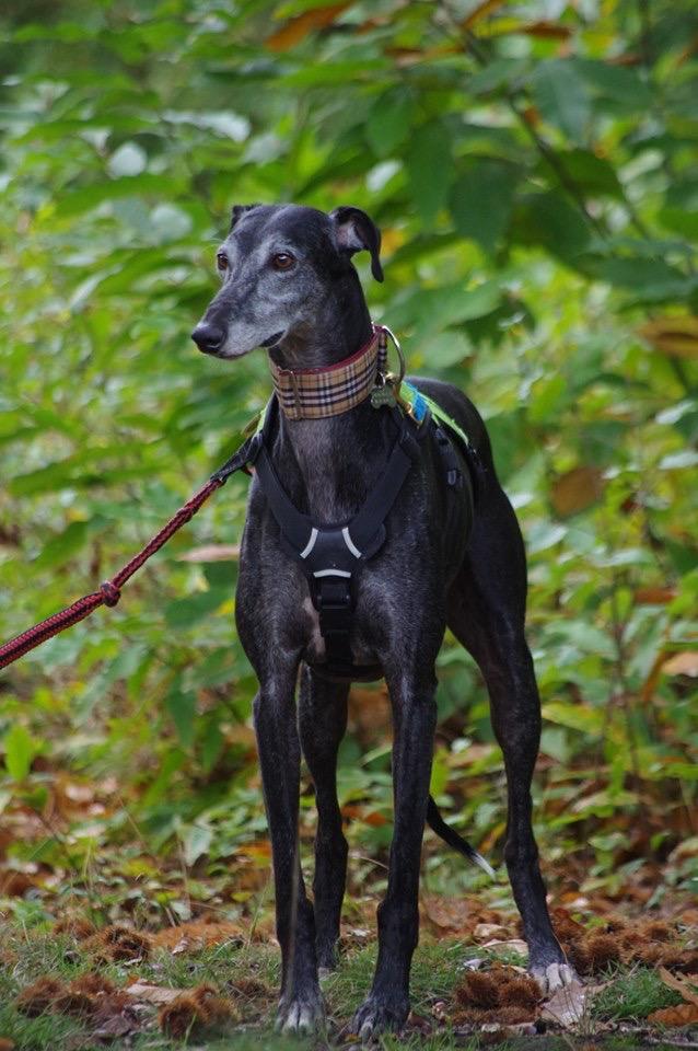 Raul ( Moro) galgo noir Adopté - Page 3 4631da10