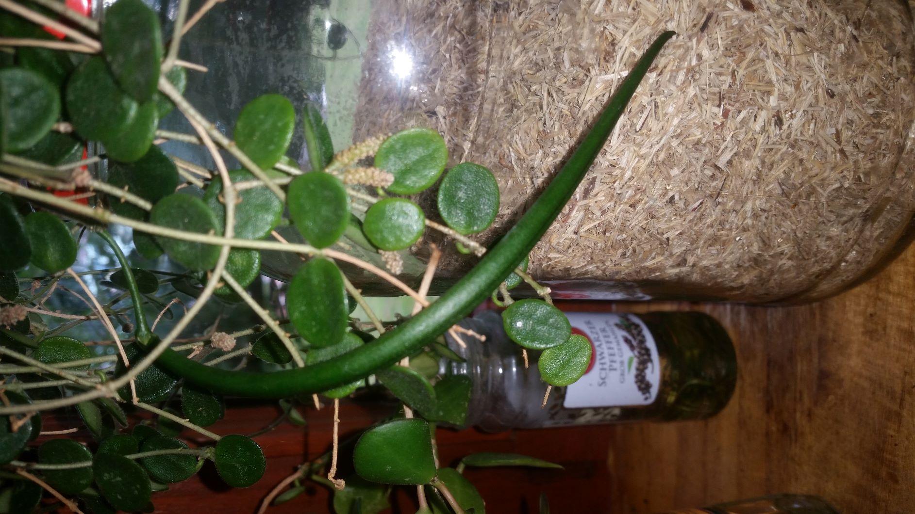 Samenschote an meiner H. serpens Schote11