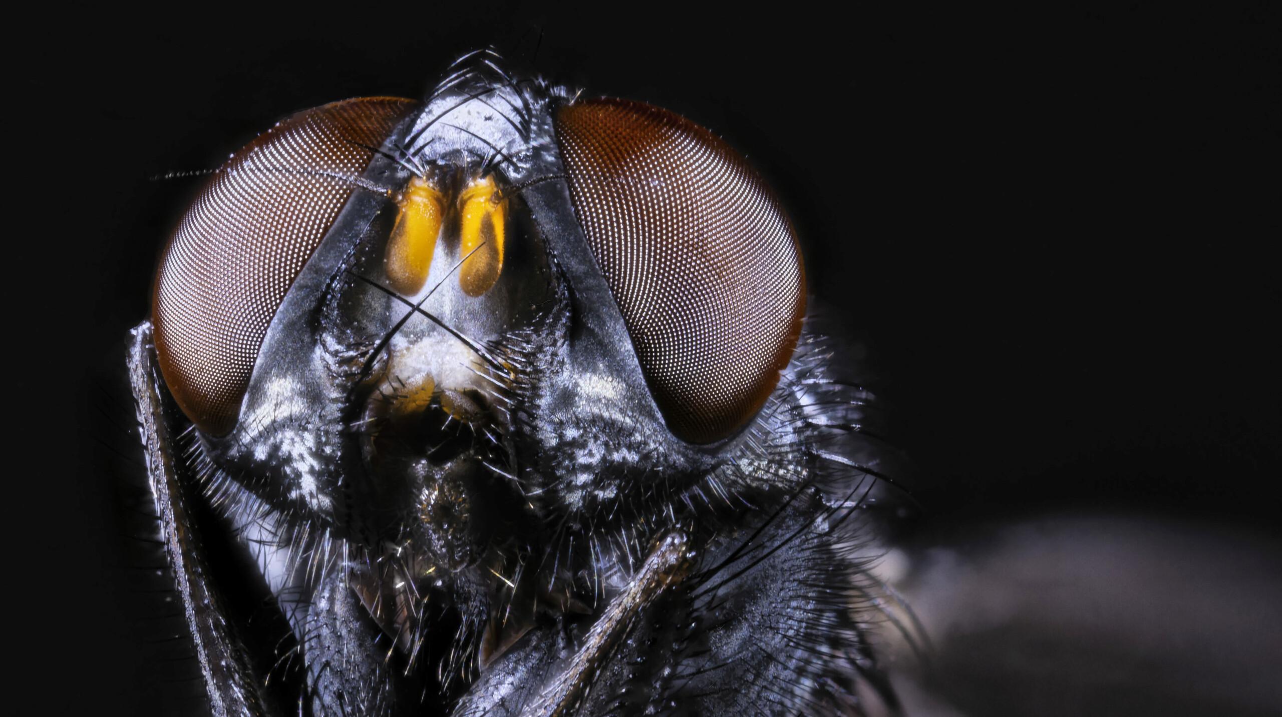 [cf. Synthesiomyia nudiseta] Muscidae (?) 2020-115