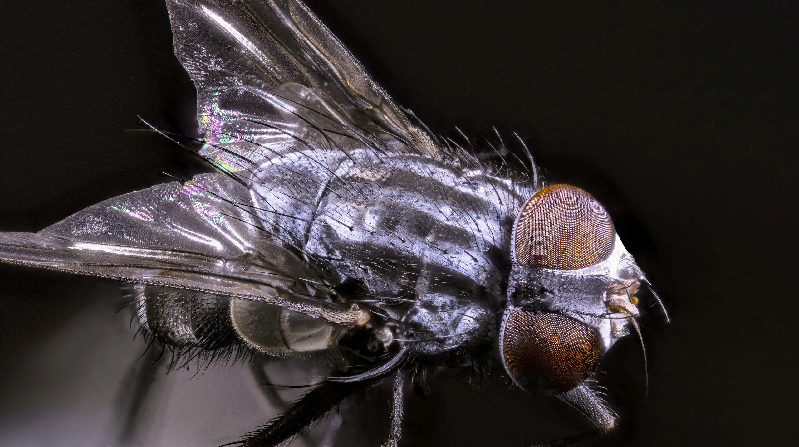 [cf. Synthesiomyia nudiseta] Muscidae (?) 2020-116