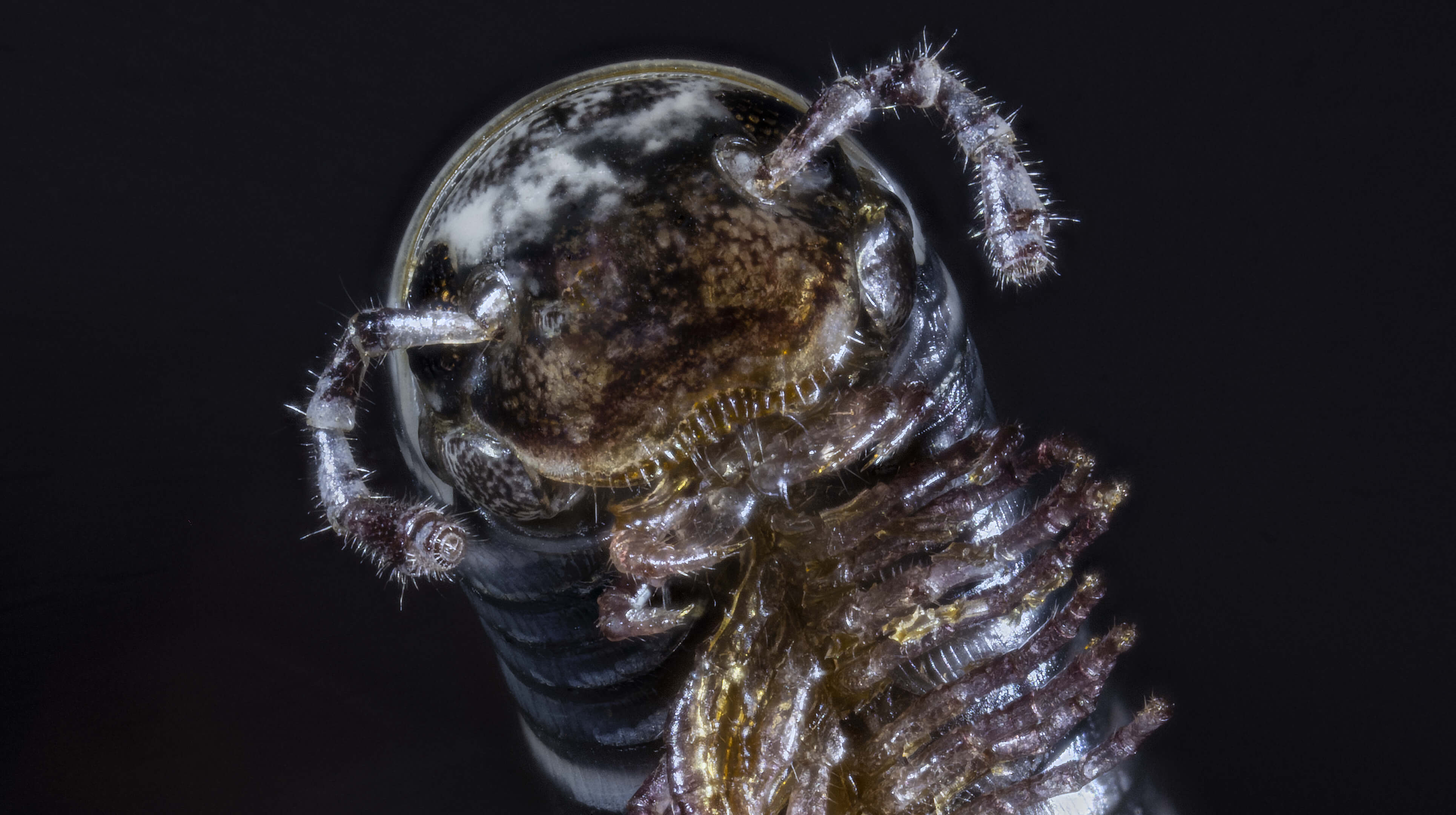 Tachypodoiulus albipes (''Iule'')  ?? Myriap10