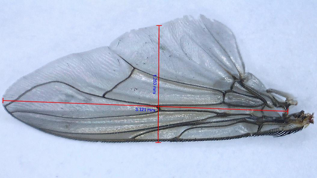 [cf. Synthesiomyia nudiseta] Muscidae (?) Xx10