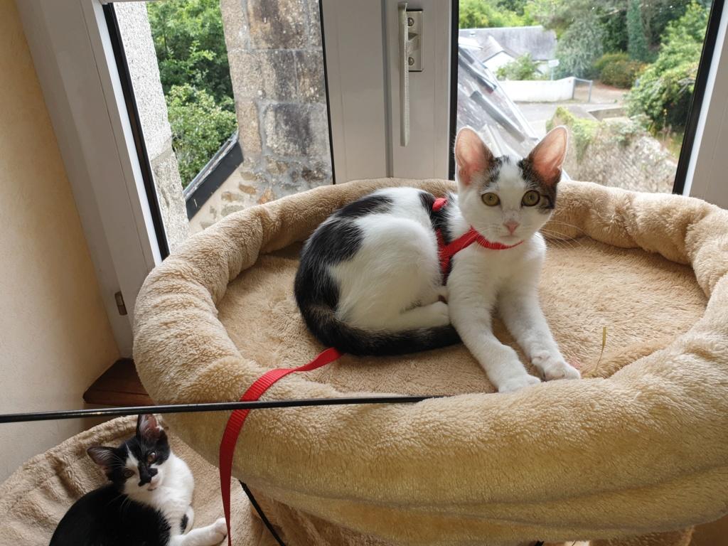 PARKER, chaton européen blanc noir tigré, né le 15/04/19  126