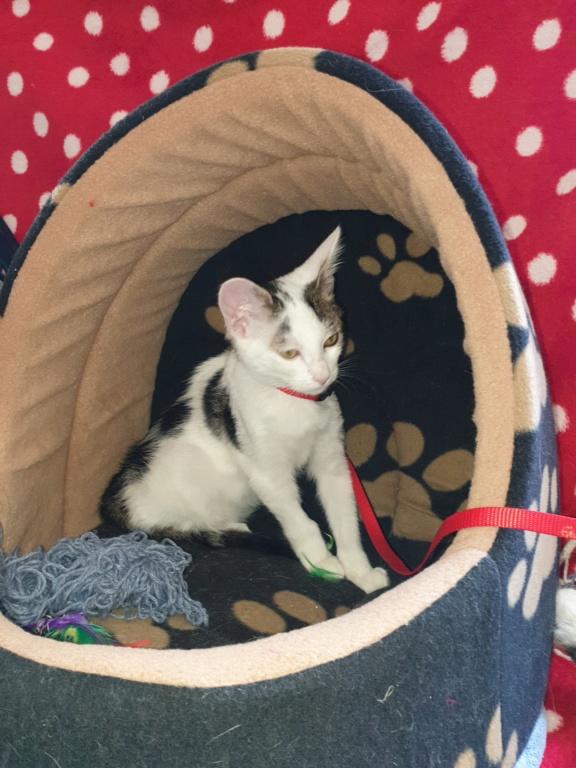 PARKER, chaton européen blanc noir tigré, né le 15/04/19  127