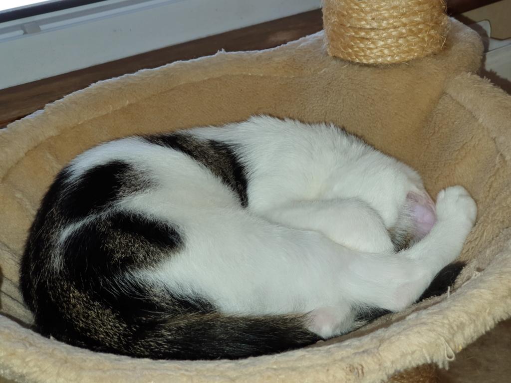 PARKER, chaton européen blanc noir tigré, né le 15/04/19  131
