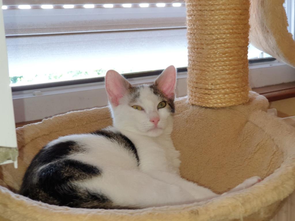 PARKER, chaton européen blanc noir tigré, né le 15/04/19  225