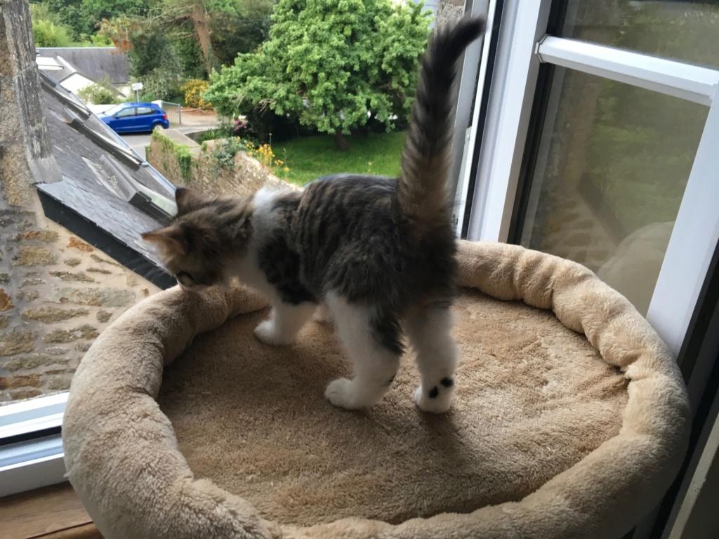 OPI chat mâle robe mi long Tabby Blanc né en Avril 2018  A10