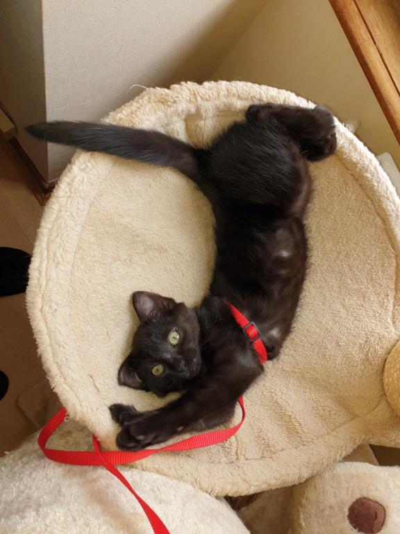 Patchoulie chatonne noire née le 24/05/2019 A12