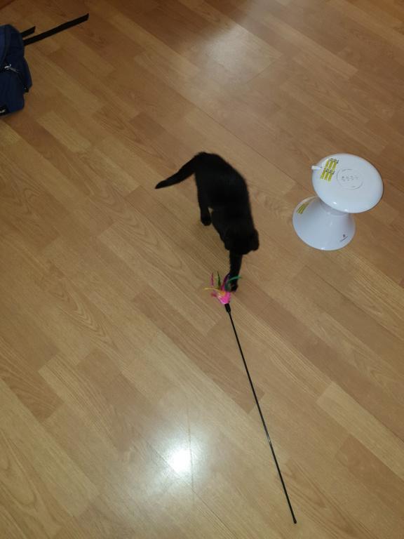 Patchoulie chatonne noire née le 24/05/2019 A13