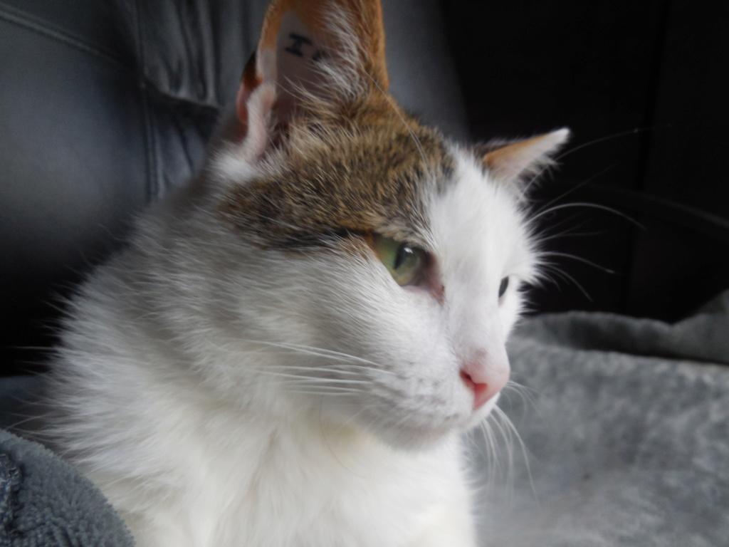 JENNIFER, chatte européenne blanche et tigrée, née en 2014. Dscn1318