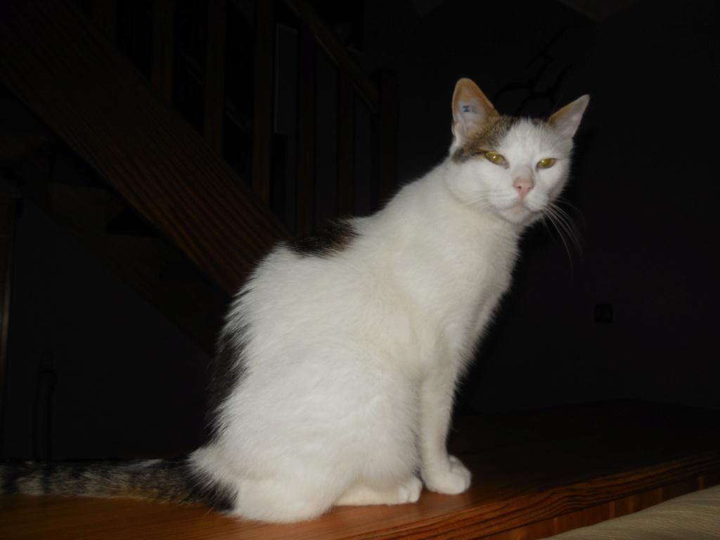 JENNIFER, chatte européenne blanche et tigrée, née en 2014. Dscn1416