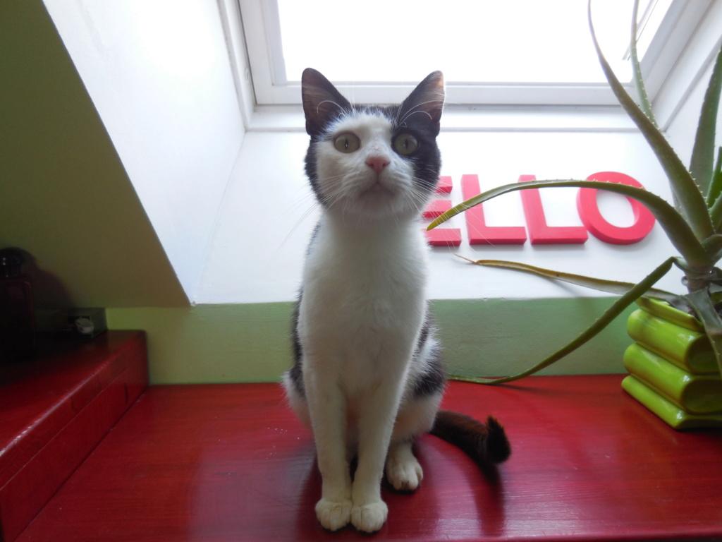 MALENA, chatte noire et blanche européenne, née en août 2016 Dscn1617