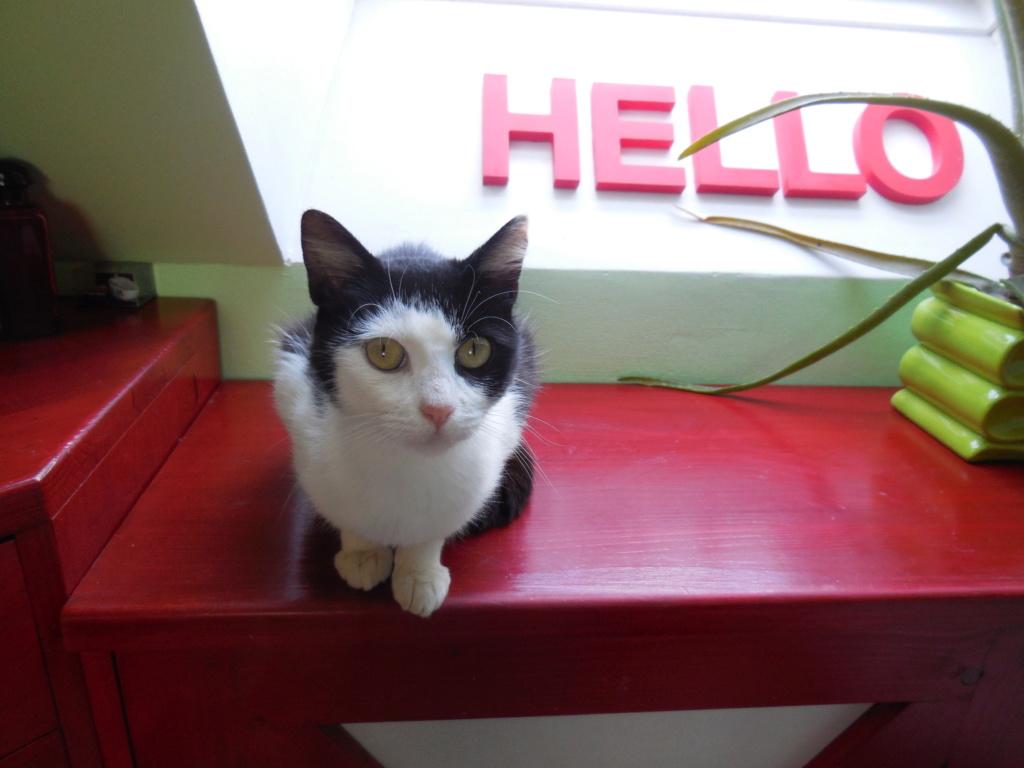 MALENA, chatte noire et blanche européenne, née en août 2016 Dscn1618