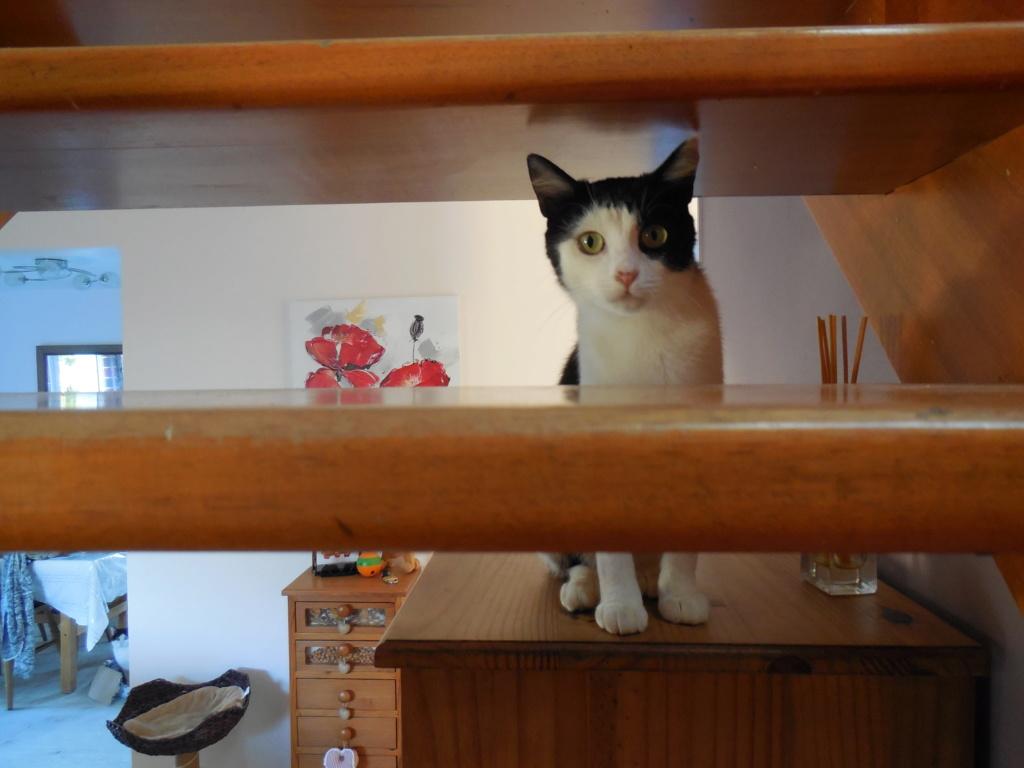MALENA, chatte noire et blanche européenne, née en août 2016 Dscn1624