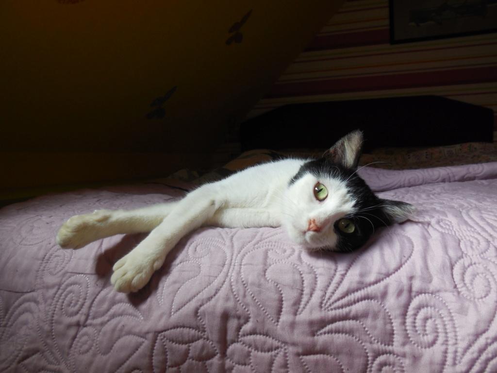 MALENA, chatte noire et blanche européenne, née en août 2016 Dscn1713