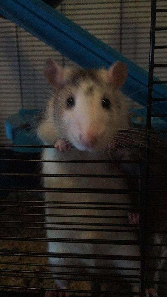 Les Rats Sorciers 41122910