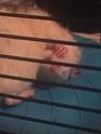Les Rats Sorciers 45259811
