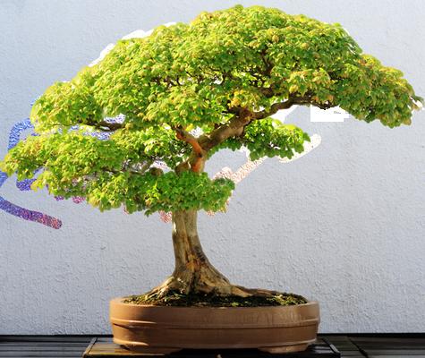 Défi Zen/bouddha,bonsai Bonzai11