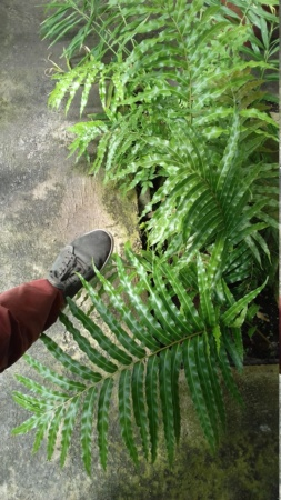 Stenochlaena tenuifolia  20190910
