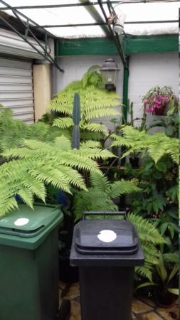 Cyathea australis ? 20191110