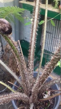Cyathea australis ? 20191111