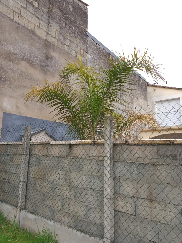 Syagrus romanzoffiana - palmier reine - Page 2 Img20214