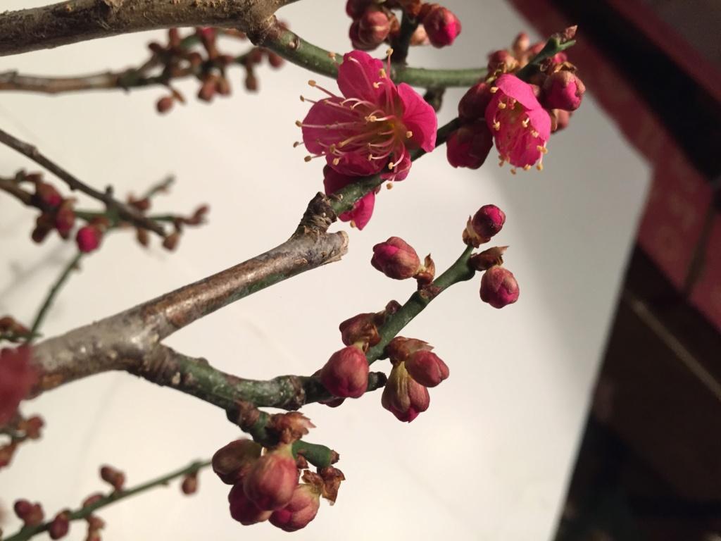 JANVIER - Prunus Mume Hako_115