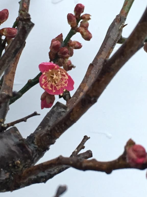 JANVIER - Prunus Mume Hako_116