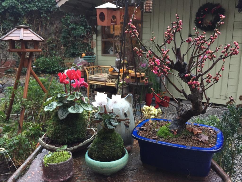 JANVIER - Prunus Mume Jardin11