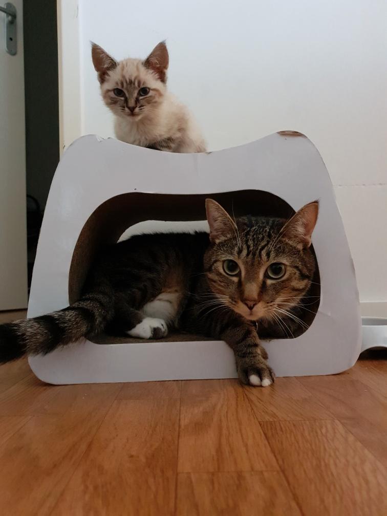NIKEL, chat mâle tigré, né le 22 mai 2017 20190736