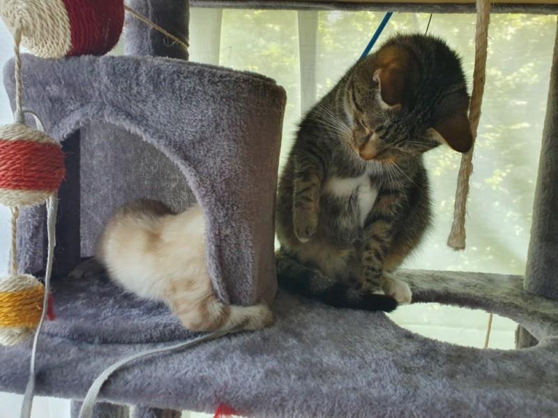 NIKEL, chat mâle tigré, né le 22 mai 2017 20190737