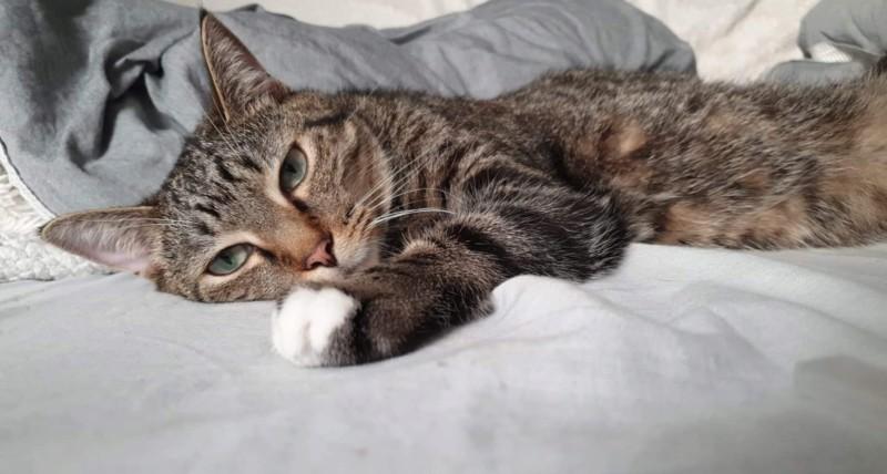 NIKEL, chat mâle tigré, né le 22 mai 2017 20190738