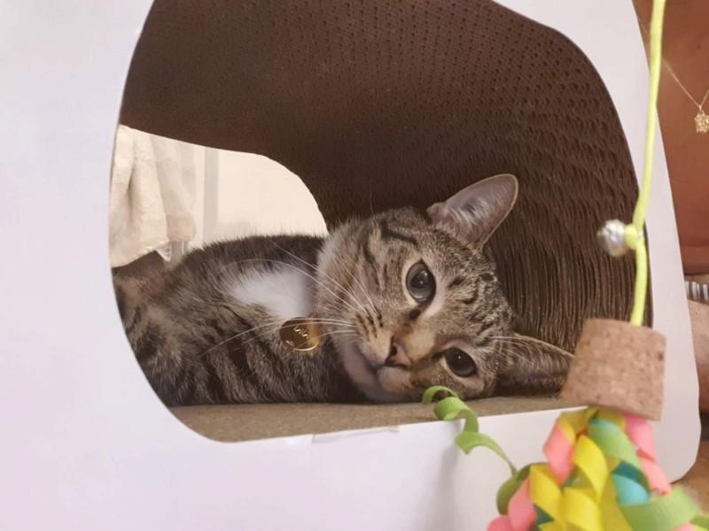 NIKEL, chat mâle tigré, né le 22 mai 2017 20190739