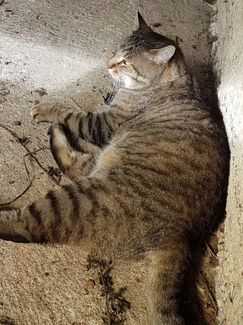 Jersey, mâle européen tigré gris, né le 15/05/2014 20191019
