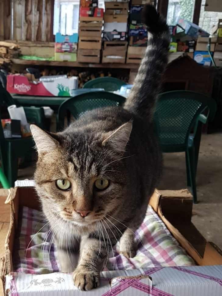 Jersey, mâle européen tigré gris, né le 15/05/2014 20191022