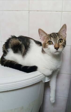Paolo, chaton mâle de type européen, tricolore, né le 01/04/2019 20190824