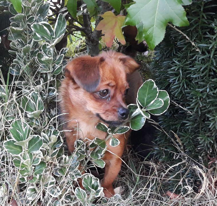 TZUKA - femelle croisée chihuahua, de taille mini (4 kg), née environ août 2018 - en FA chez Patricia (78) - Page 2 Resize49