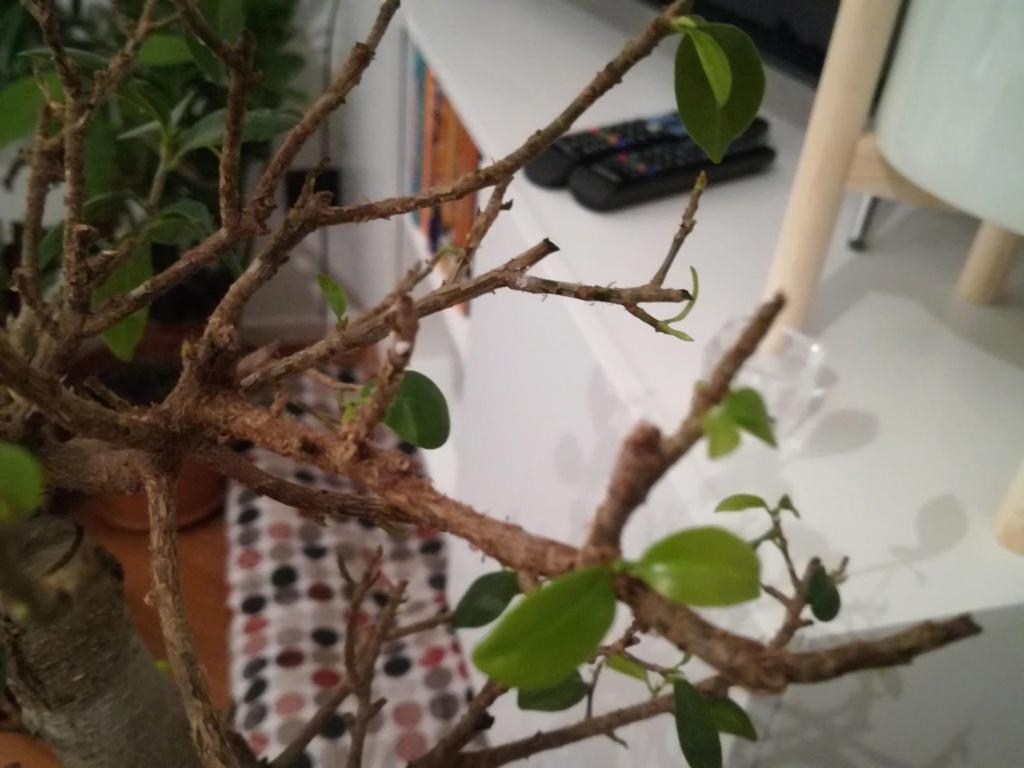 Ficus Ginseng grande - foliazione molto faticosa e filetti bianchi Etigfs10
